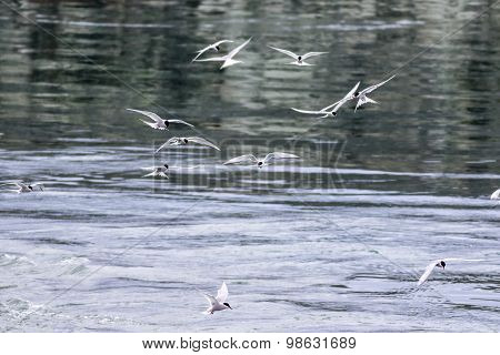 Flock Of Arctic Terns (sterna Paradisaea) In Flight Hunting For Fish