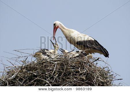 Stork family in the nest