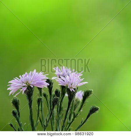 Purple Margaret Flowers With Blur Green Garden Background