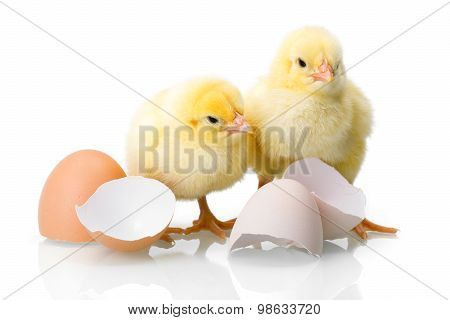 Yellow Newborn Chickens With Egg Shells