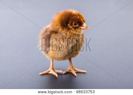 Newborn Brown Chicken On Black