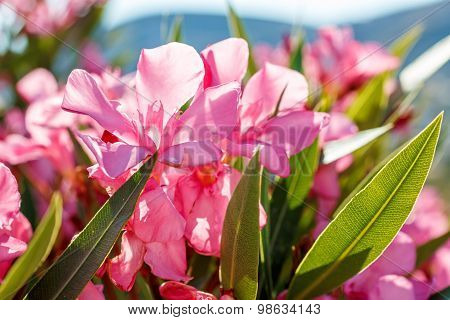 Nerium Oleander In Greece