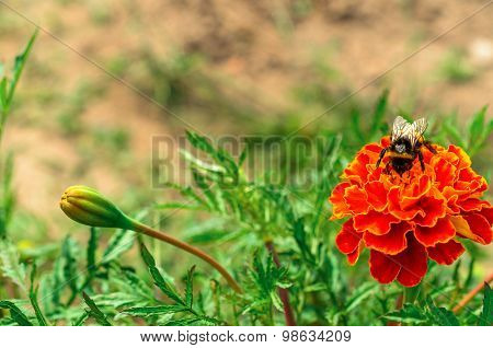 Bumble bee on a bright flower collecting nectar.