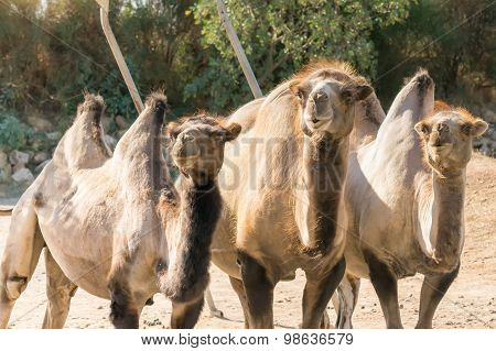 Three Bactrian camels in the zoo.A funny looking portrait.