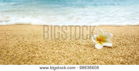 Tropical flower Plumeria alba (White Frangipani) on sandy beach