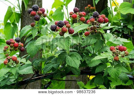 Black Raspberries (rubus Occidentalis) Ripening On The Branch In The Garden