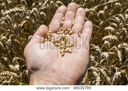 Wheat Grain On Hand