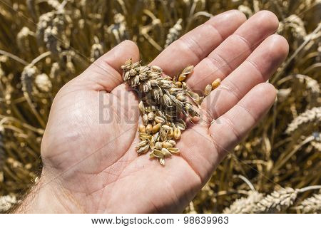Grain And Ear Of Wheat On Hand