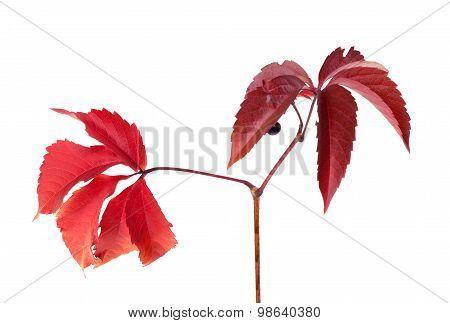 Twig Of Autumn Grapes Leaves. Parthenocissus Quinquefolia Foliage.