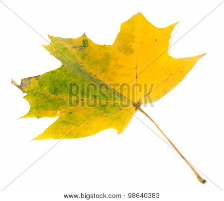 Yellowed Autumn Maple-leaf