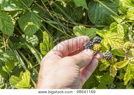 Picking The Fruit Blackberries