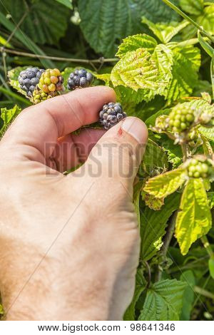 Picking The Fruit Rubus Sp