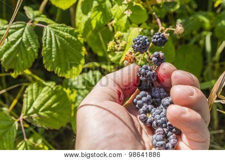 Fruit Picking Blackberries