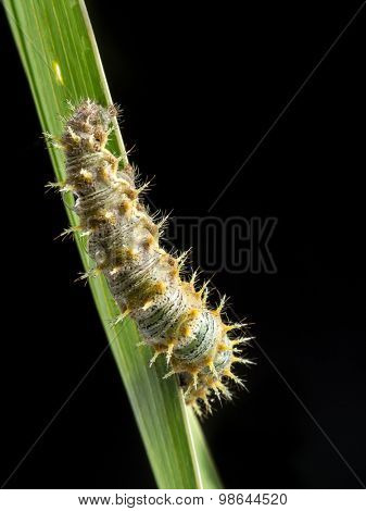 Caterpillar crawling down on green leaf on black background