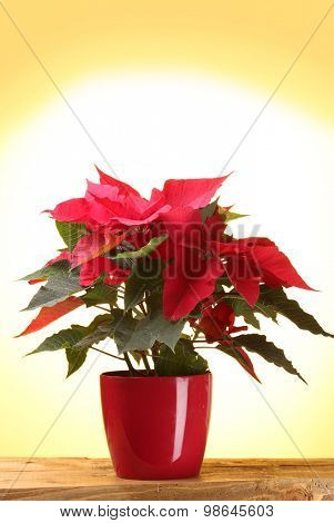 beautiful poinsettia in flowerpot on wooden table on yellow background