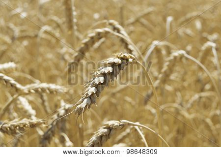 Close Up Of Yellow Wheat With Wheat Field In Background