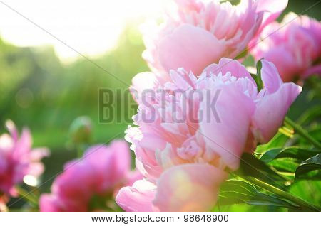 Peony Flower Blossoming In Sun Rays