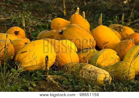 Pumpkins harvested on a field at autumn sunset