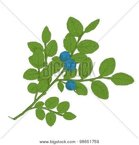 Hand drawn branch of colorful vector blueberry