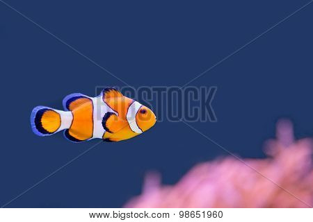Clown Fish Swimming In Blue Water With Pink Anemone