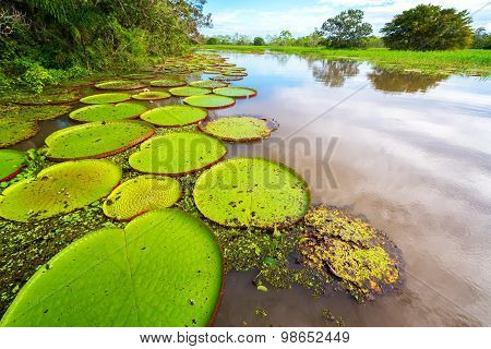 Victoria Amazonica And River View