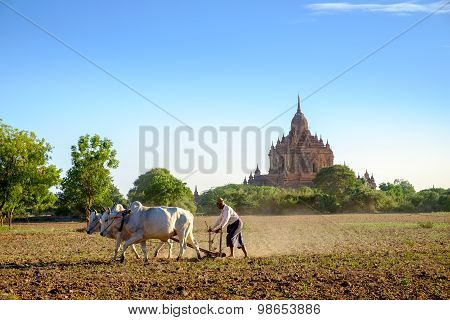 Bagan, Myanmar - 1 July, 2015: Farmer Works On The Field With Cows In Front Of Ancient Temple At Bag