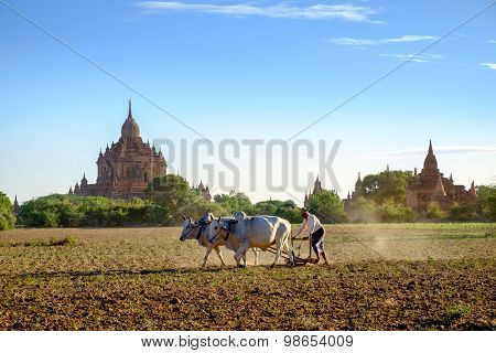 Bagan, Myanmar - 1 July, 2015: Farmer Works On The Field With Co