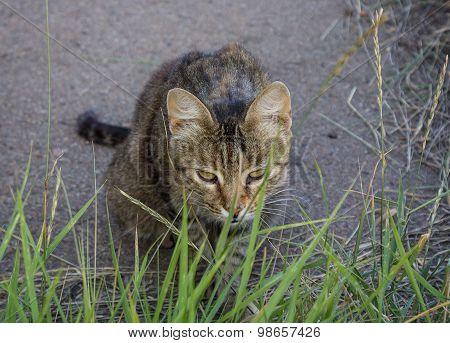 Homeless Gray Cat Hiding In The Grass