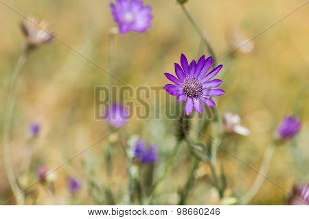 Immortal Flower In A Meadow