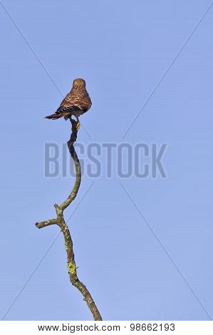 Common Kestrel (falco Tinnunculus) Seen From Behind, Sitting On A Wery Long Branch