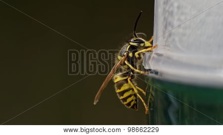 Common European Wasp (vespula Vulgaris) Sitting On An Wasp Trap, Image Taken Without Flash