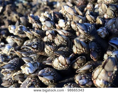 Gooseneck Barnacles in Sunshine