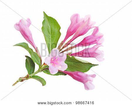 Weigela Blossom