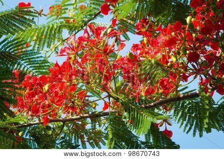Flame Tree Flower - Royal Poinciana Tree On Blue Sky