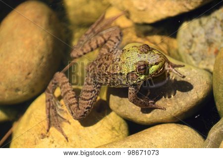 American Bullfrog Partly In The Water