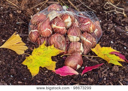 Tulip bulbs ready to plant in the home garden.