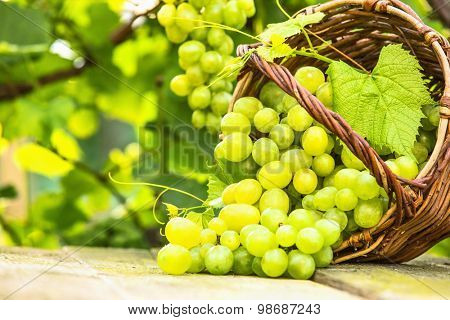 White grapes in basket on background of vineyards