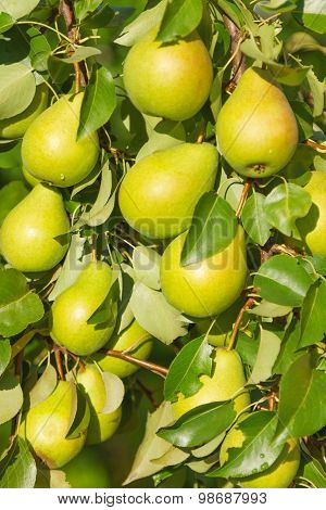 The Branch Of The Pear With Fruit