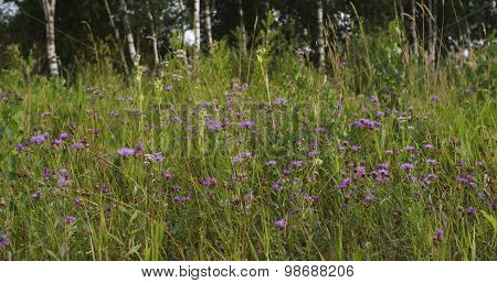 purple rural cornflowers on field