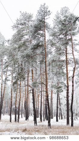 Pine Forest Covered With Hoarfrost