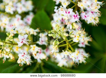Bunch Of Flowers Of The Horse-chestnut Tree