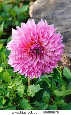 Pink Dahlia Flower.