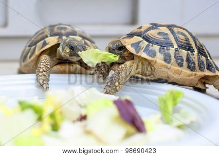 Two Turtles In Competition