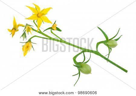 Tomato plant flower