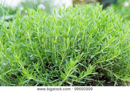 Green Tarragon