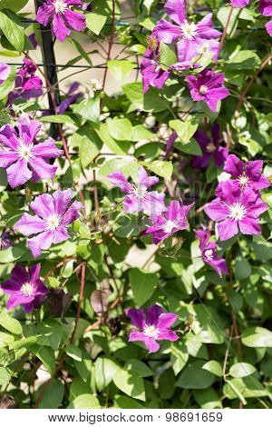 Violet Flowers Of A Klematis Lit With The Bright Summer Sun