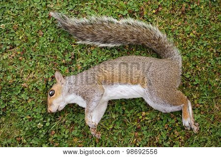 Dead Female Squirrel On Grass