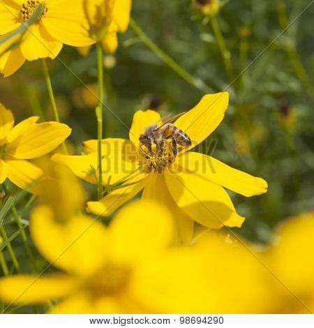 Bee Pollinating Yellow Daisies In Garden On Bright Sunny Day