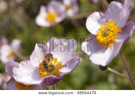 Bee Pollinates Pink Flowers On Beautiful Sunny Day In Garden