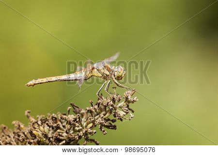 Dragonfly Black-tailed Skimmer